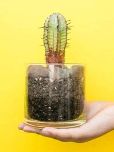 Cacti can be propagated in several ways. Certain species may be easier than others to propagate. these are the common methods to propagate a cactus step by step. Cactus Terrarium, Cactus Plants, Garden Plants, House Plants, Succulent Plants, Cacti, Small Cactus, Mini Cactus, Cactus Flower