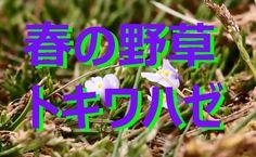【富山散策】 春の野草 「トキワハゼ」