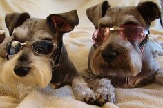 Two Cool Schnauzers...