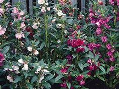 Shop for Balsam / Impatiens Seeds by the Packet or in Bulk.Com offers the Finest and Freshest Balsam / Impatiens Flower Seeds Anywhere. Planting Bulbs, Planting Seeds, Planting Flowers, Flower Gardening, Partial Shade Plants, Seeds For Sale, Home Garden Plants, Different Flowers, Garden Seeds