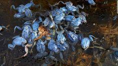 Ranas arvalis, Berlín, Alemania — Por esta foto de un montón de ranas moradas enredando un sapo, el fotógrafo alemán Rudi Sebastian ganó el segundo lugar en la categoría de imagen única de Vida Salvaje y Naturaleza. Sebastian dijo que al sapo le tomó cerca de 30 minutos antes de que pudiera librarse y tocar tierra.