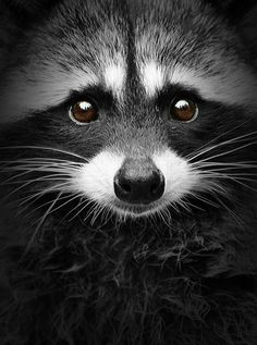 Bandit (Raccoon) --- photo by Shane Kalyn Element Photos). Animals And Pets, Baby Animals, Funny Animals, Cute Animals, Wild Animals, Strange Animals, Small Animals, Forest Animals, Beautiful Creatures