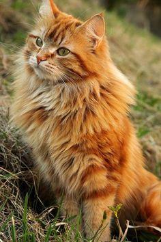 Orange Maine coon cat.. More