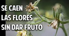 ¿Por qué se caen las flores del tomate? (+ Soluciones) | Plantas