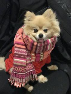 Cute Pomeranian in scarf ready for winter in the snow. Meet Henry