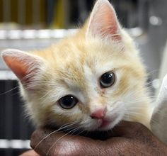 ADOPTED>Intake: 5/10 Available: 5/16 NAME: Neeka  ANIMAL ID: 31556119 BREED: DSH  SEX: Female  EST. AGE: 6 weeks  Est Weight: 1.8 lbs Health:  Temperament: Friendly ADDITIONAL INFO:  RESCUE PULL FEE: $35
