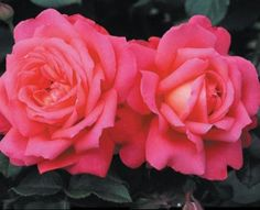 Star Of The Nile™ - Roses - Heirloom Roses Good to grow in the PNW - deep pink roses Beautiful Roses, Beautiful Gardens, Ronsard Rose, Pink Roses, Yellow Roses, Orange Yellow, Heirloom Roses, Shrub Roses, Blooming Plants