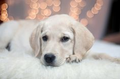 Lab puppies labs and puppys on pinterest