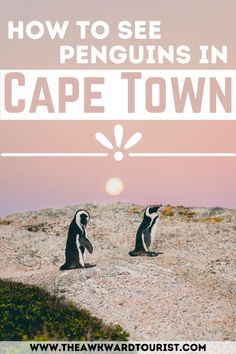 Planning a trip to South Africa? Check out this guide to seeing the penguins in Cape Town, South Africa. Find out where to see them and how you can help contribute to the conservation of the National Park. #CapeTown #SouthAfrica | Cape Town South Africa Penguins Beach | Penguins in Cape Town | African Penguins South Africa | Best things to do in Cape Town | Cape Town Travel Guide | Places to Visit in Cape Town | Cape Town South Africa travel things to do | Tourist Places PHOTO PHOTO GALLERY  | SCONTENT.FPAT1-1.FNA.FBCDN.NET  #EDUCRATSWEB 2020-03-07 scontent.fpat1-1.fna.fbcdn.net https://scontent.fpat1-1.fna.fbcdn.net/v/t1.0-9/s960x960/89630337_216099116412569_8041121815491248128_o.jpg?_nc_cat=102&_nc_sid=110474&_nc_oc=AQnokxh5Inw4B3tbYdkaxxeYl9rde3tHQfaqZkj21fUYpaaxlU_pa43Tf_cdzFyMJ21L0DJW9o3BWs_l4NUmziM6&_nc_ht=scontent.fpat1-1.fna&_nc_tp=7&oh=13e91407e21aa27523970eedbb21e307&oe=5E801148