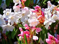 Rhododendron 'King George' is considered to be the best of the 'Loder'