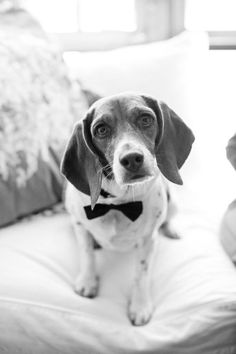 This #pup is ready for his black tie event! #cutedogs #dogs