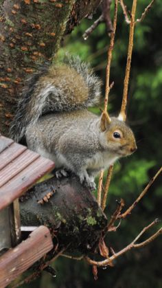 Eastern Gray Squirrel, Grey, Photography, Animals, Gray, Photograph, Animales, Animaux, Fotografie