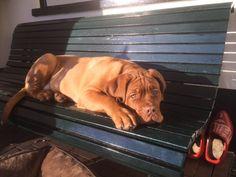 Bordeaux dog 16 weken
