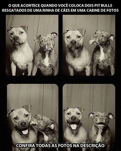 Pitt bulls resgatados de ring de cães