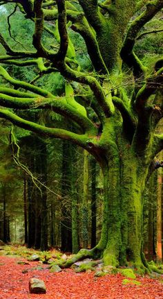 Ancient tree in the Broceliande, Brittany, France - the forest of Merlin the wizard