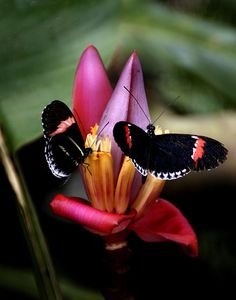 Mariposas Negras/ Black Butterflies by Romulo fotos, via Flickr...a duet!