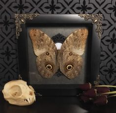 Victorian Owl Butterfly Shadow Box, Real Butterfly, Taxidermy, Framed Butterfly, Victorian, Memento Mori, Gothic Decor, Oddity by beyondthedarkveil on Etsy https://www.etsy.com/ca/listing/508192406/victorian-owl-butterfly-shadow-box-real
