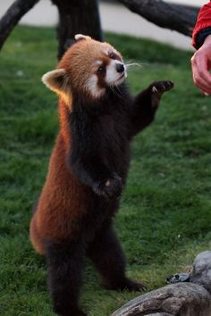 red pandas are perfect