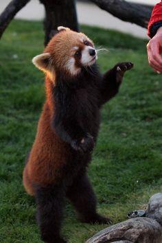 レッサーパンダとKOOL