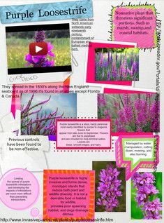 Lythrum salicaria is a flowering plant belonging to the family Lythraceae. It should not be confused with other plants sharing the name loosestrife that are members of the family Primulaceae. #glogster #glogpedia #purpleloosestrife