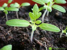 Rozsada pomidorów - najej przygotowanie potrzeba zwykle 50-55 dni. Pomidorki najlepiej wschodzą wciepłym pomieszczeniu. Fot.Niepodlewam Garden Paths, Flowers, Plants, Lawn And Garden, Plant, Royal Icing Flowers, Flower, Florals, Floral