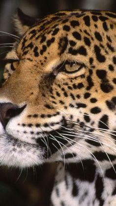 jaguar, face, predator, eyes