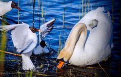 joutsen, swan, laulujoutsen, lintuvalokuva, bird, scandinavian birds, luontokuvaus, eläinkuvaus, animal, eläin, lintu, luontokuvat, nature picture. Bird, Animals, Animales, Animaux, Birds, Animal, Animais