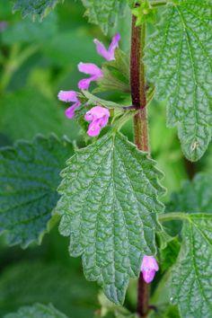 Ballota nigra - GranoSalis - Blog di cucina naturale e consapevole