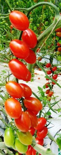 Produire des tomates de qualité en permaculture, en Alsace, et malgré le mildiou