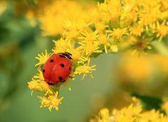 Ladybug on Goldenrod