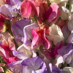 Incense Mix sweet pea seeds - Garden Seeds - Flowering Vine Seeds