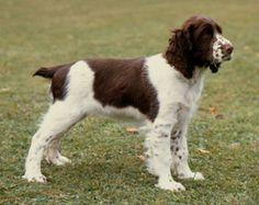 English Springer Spaniel (field bred for shorter hair)