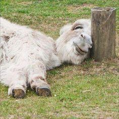 Dear World, You're Pretty! — I want a donkey, please. This exact donkey. Baby Donkey, Cute Donkey, Mini Donkey, Animals And Pets, Baby Animals, Funny Animals, Cute Animals, Miniature Donkey, Tier Fotos