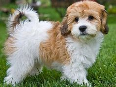 This is a Cavachon Dog. It's a mix between a Cavalier King Charles Spaniel and Bichon Frise. They are adorable AND hypoallergenic. :)