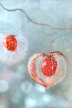 """amour en cage (physalis) :  appelé également """"Amour en cage"""", """"lanterne japonaise"""" ou encore """"coqueret"""", symbole de l'amour bienveillant. photo Mandy DISHER"""