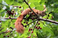 Squirrel on sour cherry tree Haiku, Sour Cherry Tree, Squirrel, Cute Pictures, Christmas Ornaments, Holiday Decor, Bunnies, Gardening, Short Poems