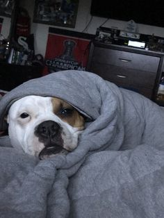 Such a typical Pitbull they love to be wrapped up in blankets
