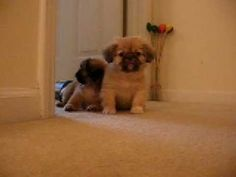 Pekingese puppies :)