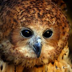 The illusive and enigmatic Pel's fishing owl of sub-Saharan Africa. A rare sighting along Africa's waterways...