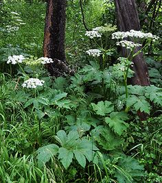 """HERACLEUM LANATUM - """"Cow Parsnip"""" , a beautiful giant native loved by butterflies + pollinating insects, good in dry shade, not to be confused with the poisonous (non-native) Heracleum mantegazzianum/Hogweed. Dry Shade Plants, Bog Plants, Garden Plants, California Native Plants, Blooming Trees, Moon Garden, Shade Trees, Climbing Roses, Gardens"""