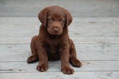 Chocolate puppy