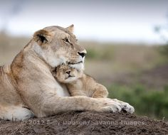 Lioness with little guy by Billy Dodson - Photo 56609834 - 500px