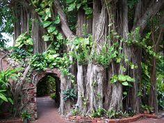 banyan tree, key west