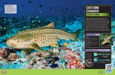 The zebra shark is a beauty! Did you know it's skin pattern changes as it grows? #SharkWeek