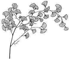 Ginkgo branch