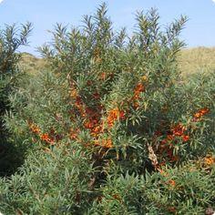 Sea Buckthorn berries health benefits.
