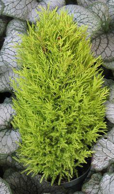 Love this Lemon Cypress (Cupressus mac.) 'Wilma Goldcrest'. Sounders green.