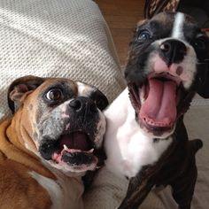 total clown dogs #boxerlove