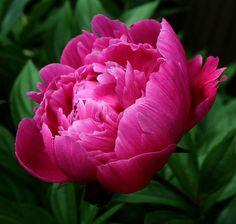 Botanical Flowers, Flowers Nature, Colorful Flowers, Purple Flowers, Beautiful Flowers, Cherry Blossom Art, Floral Vintage, Composition Art, Peonies Garden
