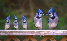 """""""The Bluejay family"""" - this picture is photoshopped - baby blue jays do not look identical to adult blue jays (they are more gray than blue when they are young); this is an example of someone using Photoshop to create smaller versions of adult blue jays and pasting them into a picture next to actual adults"""